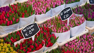 Amsterdam Tulips