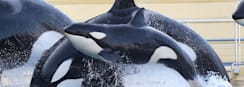 SeaWorld Banned From Breeding Orcas