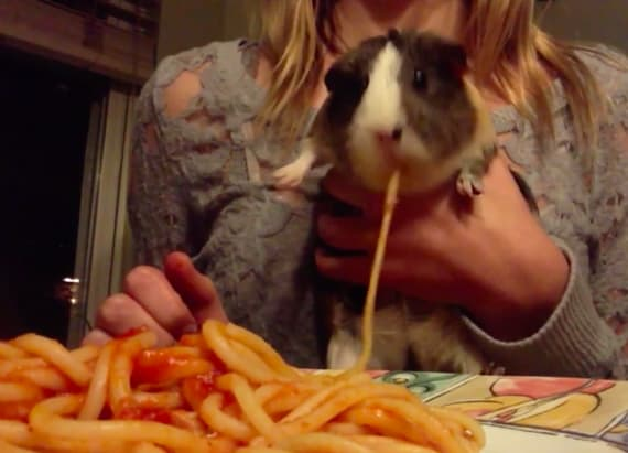 Guinea pig chows down on plate of spaghetti