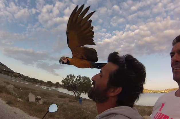 Macaw flying with owner on scooter