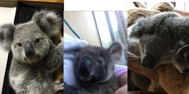 Police appeal for urgent return of stolen baby koalas