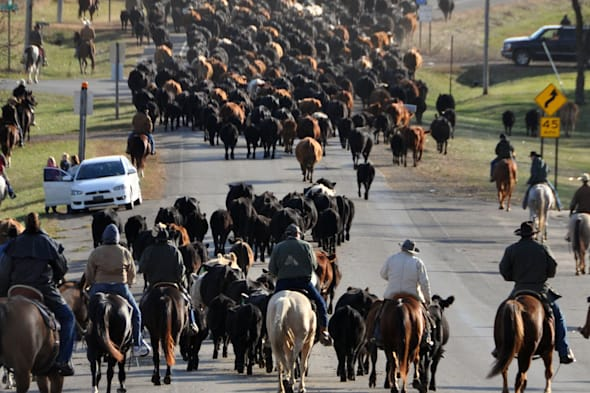 Gary Cattle Drive (Riders lead a herd of more that 500 cows and calves from the town of Gary, S.D., Saturday, Oct. 29, 2011, for