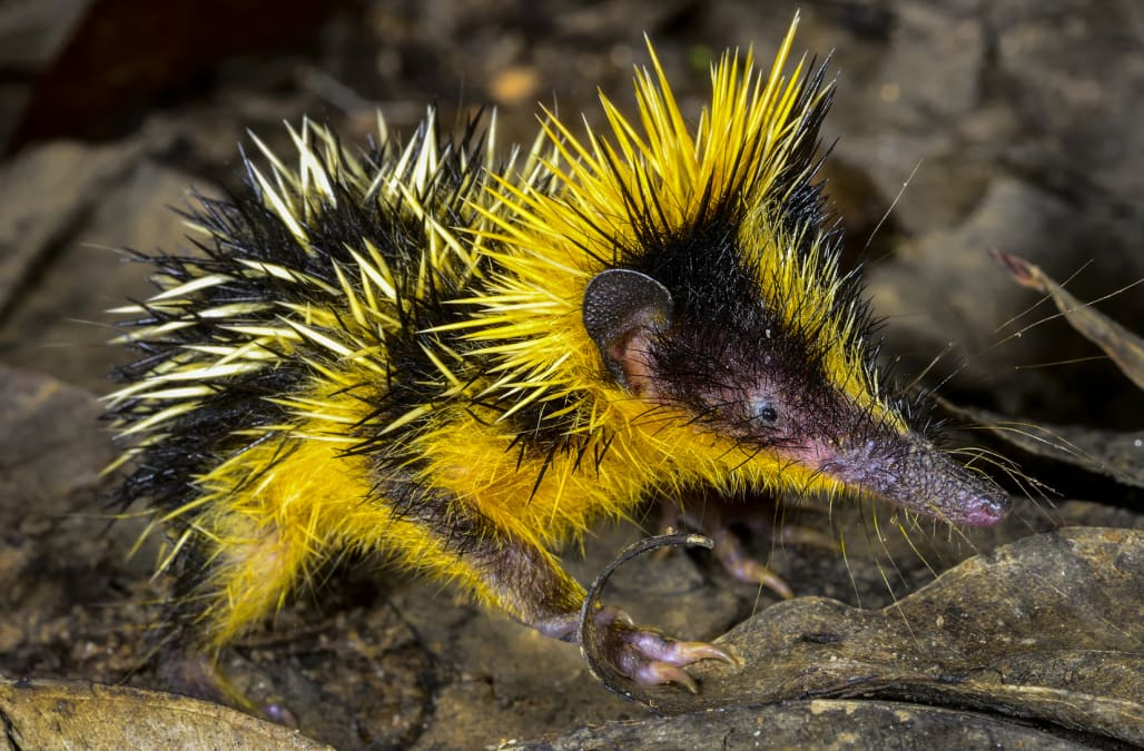 This animal looks just like a Pokémon - AOL News Shrew Predators