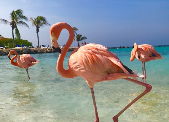 Caribbean island has free-roaming flamingos