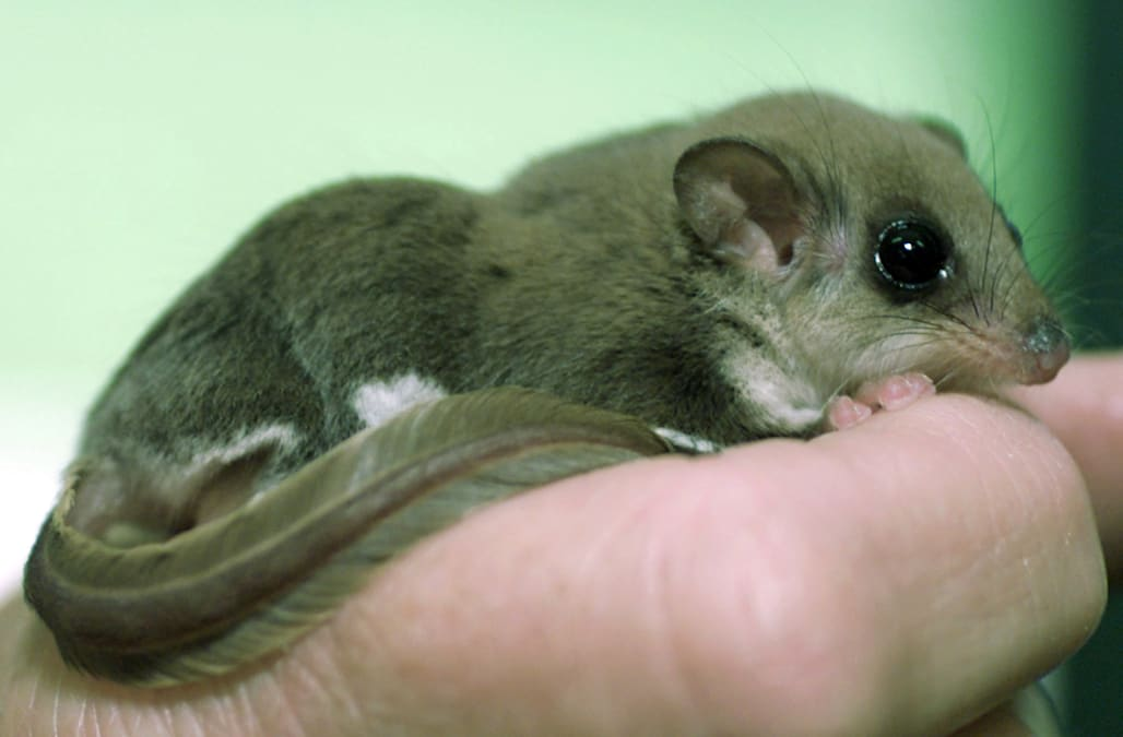 An Australian feathertail glider rests on the forefinger of keeper Darrelyn Rainey's hand at Sydney's zoo October 12, 2000. The tiny marsupial feeds on nectar and can glide from tree-to-tree by stetching the folds of skin between its limbs. The glider is slowly disappearing from suburban Sydney due to predation from cats and foxes.WB/PB