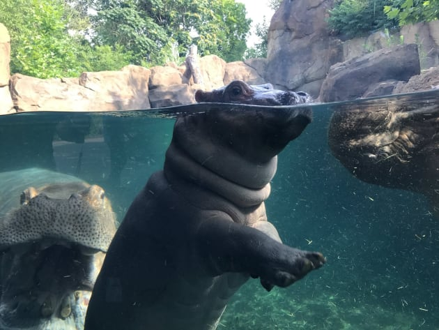 Fiona the Hippo Reunites with Her Family