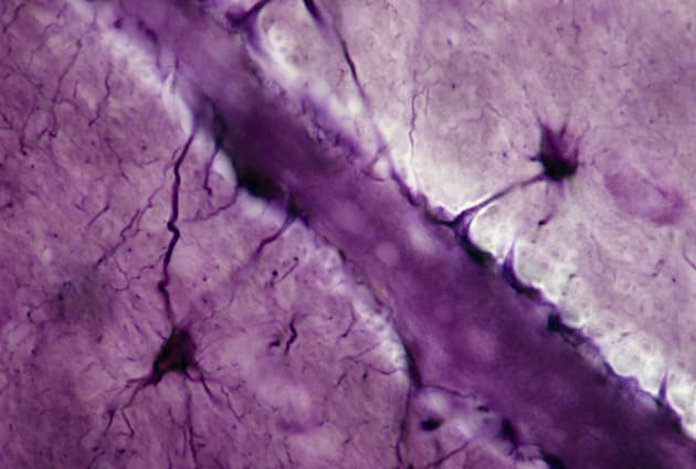 Astrocytes; neuroglial cells, 250X at 35mm. Shows: processes (perivascular feet) of neuroglial cells in contact with a brain cap