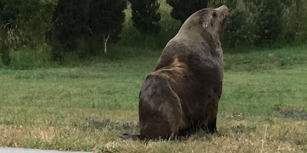 200kg seal to be relocated after Australian suburb stroll