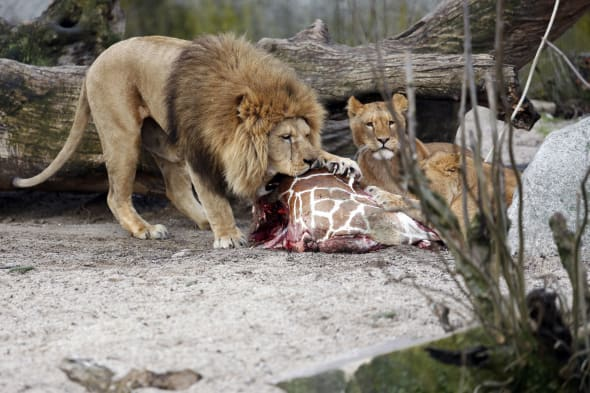 Denmark Lions Killed