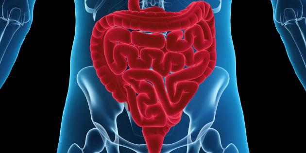 Un intestin humain reconstitué à partir de cellules souches