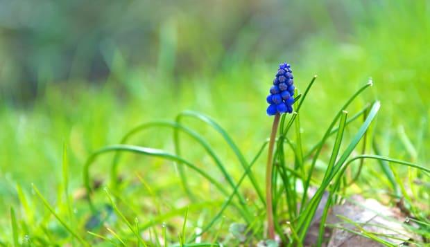 Spring Flower Grape Hyacinth