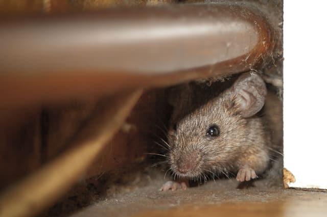 Mouse peeking out of the hole
