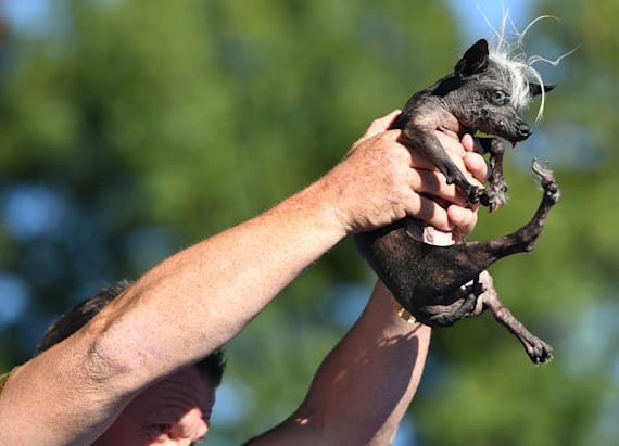 Chihuahua named SweePee crowned world's ugliest dog