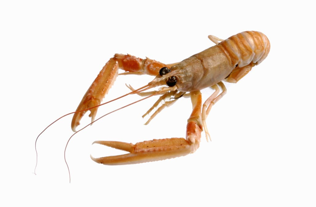 Scampi against white background