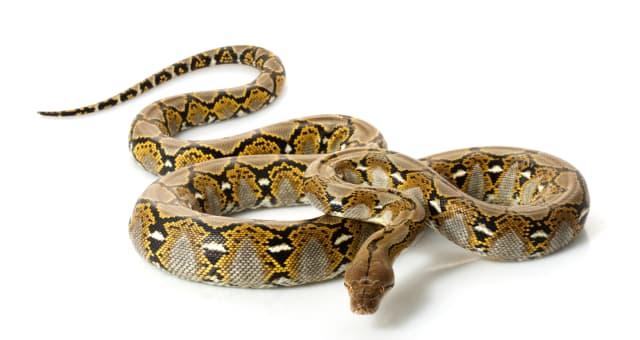 reticulated python  python...