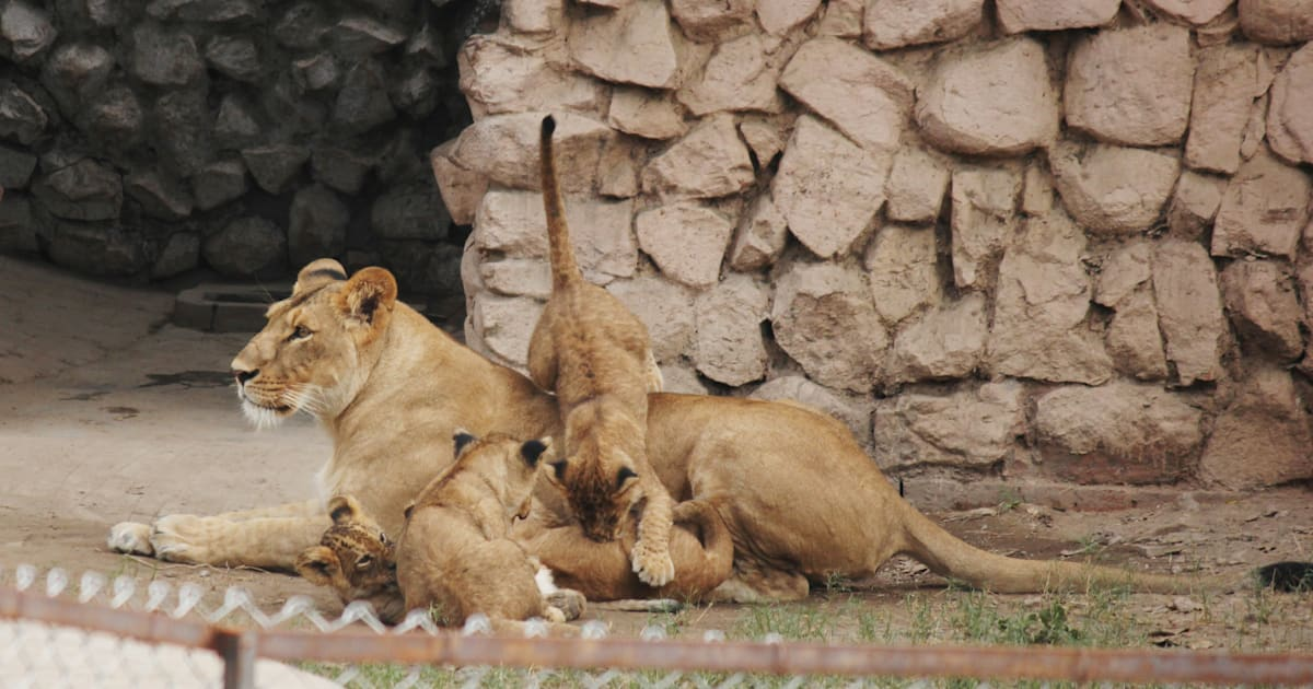 huffingtonpost.in - Pregnant Lioness Refuses To Eat Chicken Served After UP Slaughterhouse Crackdown