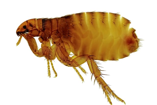 Super fleas with big penises to invade UK homes