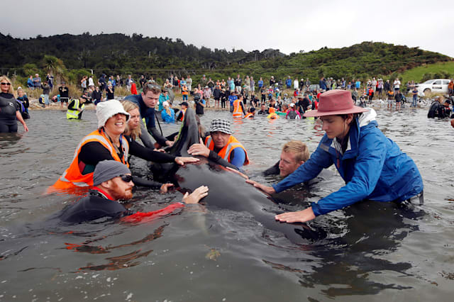 Hundreds of whales in second New Zealand stranding able to swim free