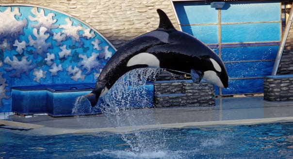 Jumping Killer whale, Orcinus orca, USA, California, San Diego, SeaWorld
