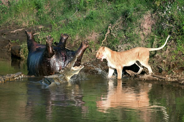 lion fights with crocodiles over dead hippo photos aol uk