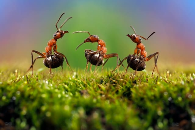 Three ant. Conflict, ants fight.