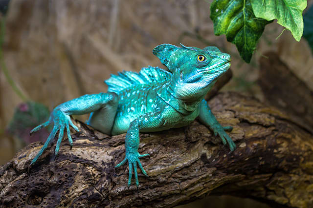Basiliscus basiliscus sits on a log of wood with leaves