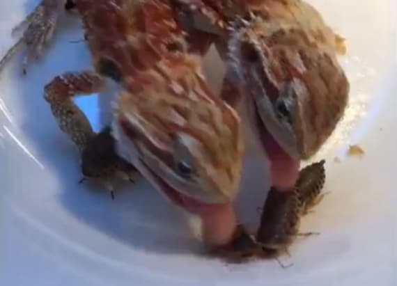 2-headed dragon eats in unison with itself