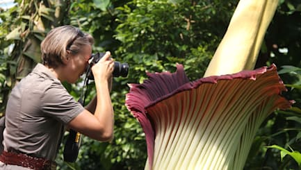 Stinking corpse flower comes into bloom