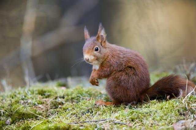Red Squirrel, Sciurus vulgaris, sat on moss, Formby Point, Lancashire, UK