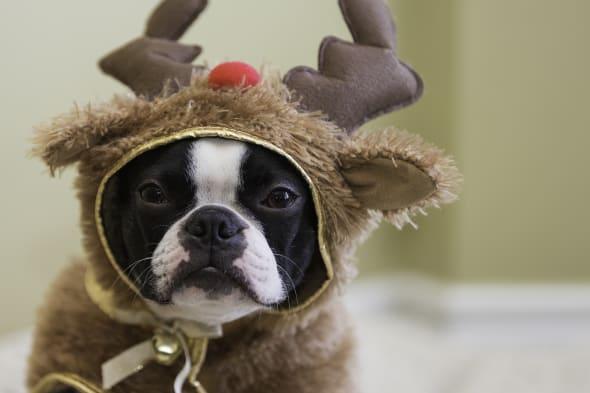 boston terrier in reindeer...