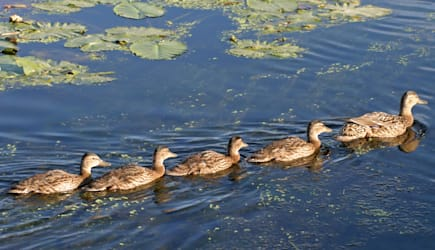 five ducks swimming in a row