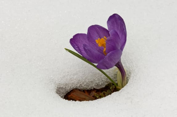 Emerging crocus blossoms through early spring snow in garden, New York State Welcome Centre, New York, U.S.A.