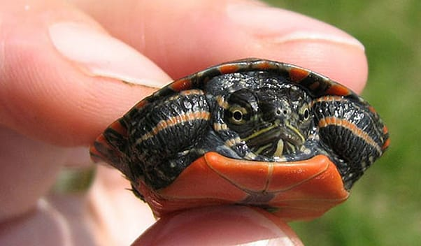 Small Pet Turtles Linked To Salmonella Outbreaks In Children ...