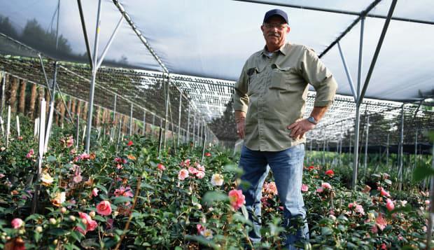 Man growing camellia flowers