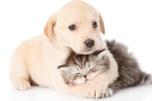 golden retriever puppy dog...
