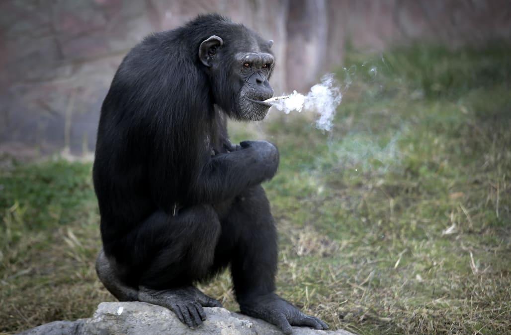 APTOPIX North Korea Smoking Chimp