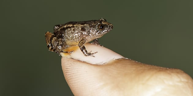 Seven miniature frogs discovered in the Western Ghats