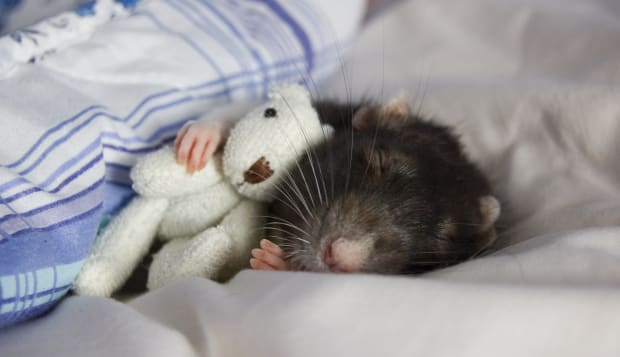 A rat and her bear
