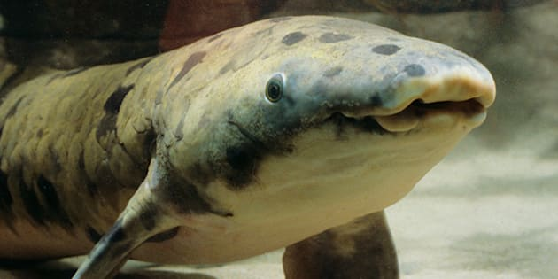 Granddad the Lungfish, About 100 Years Old, Euthanized by Aquarium