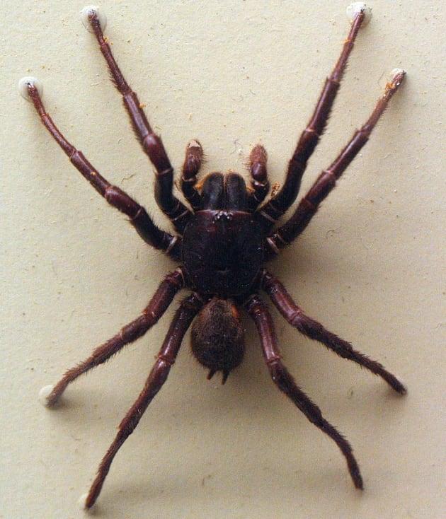 Le venin d'araignée pourrait vous sauver la vie après un AVC !