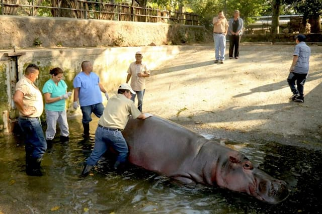Hippopotamus beaten and stabbed to death at zoo in El Salvador
