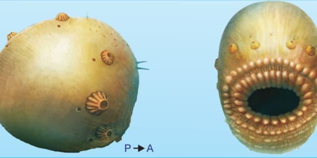 Voici Saccorhytus, votre plus vieil ancêtre