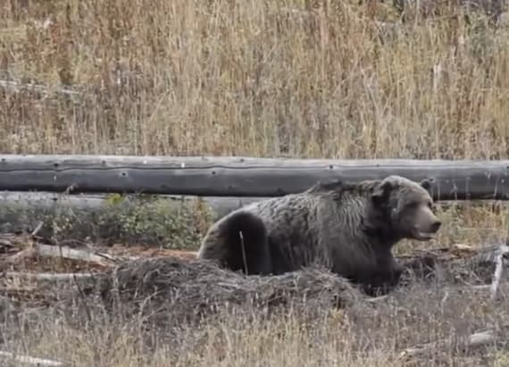 Yellowstone's most famous bear shot dead
