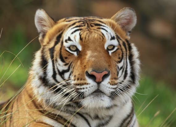 The struggle and resilience of the world's tigers