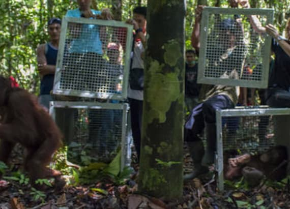 2 orangutans released after being chained and caged
