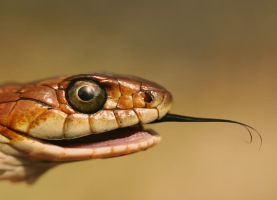 This snake can drift through the ocean for miles