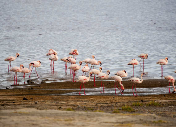 Flamingos thrive in deadly lake