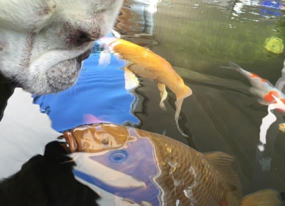 Bulldog and fish will not stop kissing