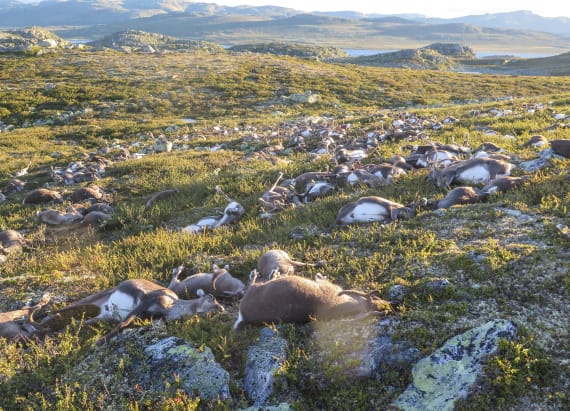 Hundreds of reindeer in Norway killed by lightning