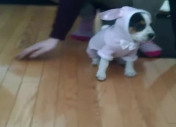 Puppy loses it when owners put him in a bunny suit